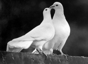 White Dove Release for weddings, funerals and special occasions in East Sussex, Brighton, Lewes and Eastbourne.